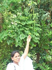 How to Grow a Moringa tree. For a fast-growing tree that will bear leaves, blossoms and seed pods - called drumsticks, the first year - choose Moringa Oleifera. Fruit Garden, Edible Garden, Garden Plants, Permaculture, Miracle Tree, Comment Planter, Fast Growing Trees, Seed Pods, Moringa Oleifera