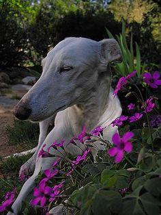 El galgo es un perro muy independiente y tranquilo