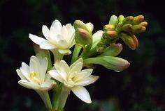 Cultiva blancos y bellos nardos en tu jardín - Bulhufas.es - Blogs - Hogar Bulhufas.es – Blogs – Hogar