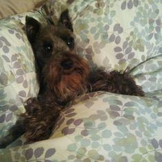 Tucked in Miniature Schnauzer - My Ruby!