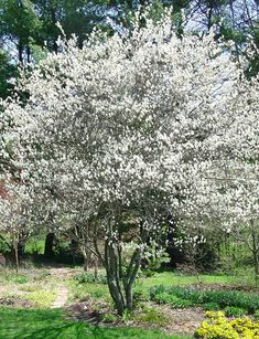 Autumn Brilliance Serviceberry with spring blossoms. Canadian Serviceberry (Amelanchier canadensis), the hardiest of serviceberries can tolerate dry soils and are good for the Treasure Valley soils and weather.