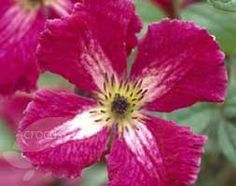 Buy clematis (group 3) Clematis 'Abundance': Delivery by Waitrose Garden in association with Crocus