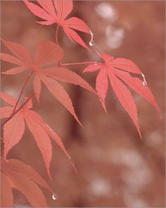 Japanese Maple Leaves in the rain -  / red / red color / color red / nature / DSIR0201 > by Bahman Farzad, via Flickr