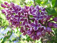 Lilac 'Sensation' The scent of spring!