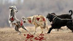 Wolf Hunt Dog - Wild Nature|Wolf Size Vs Dog|Wild Wolf Vs Dog