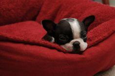 Cute Boston Terrier puppy
