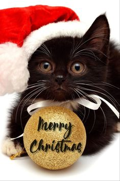 7 Reasons Why Cats Are the Best Pets - Beautiful Kittens, Cute Cats And Kittens, Kittens Cutest, Christmas Kitten, Christmas Animals, Christmas Quotes, Crazy Cat Lady, Crazy Cats, Cat Santa Hat