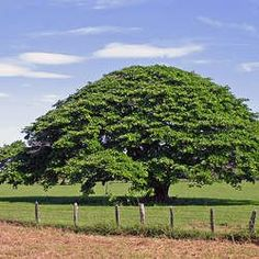 Enterolobium cyclocarpum, commonly known as guanacaste, caro caro, or elephant-ear tree, is a species of flowering tree in the pea family, Fabaceae, that is native to tropical regions of the Americas, from central Mexico south to northern Brazil (Roraima) and Venezuela.