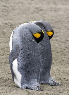 King Penguin pair
