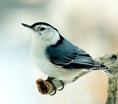 """WHITE-BREASTED NUTHATCH: A common feeder bird with clean black, gray, and white markings,  active, agile little birds with an appetite for insects and large, meaty seeds. They get their common name from their habit of jamming large nuts and acorns into tree bark, then whacking them with their sharp bill to """"hatch"""" out the seed from the inside. White-breasted Nuthatches may be small but their voices are loud, and often their insistent nasal yammering will lead you right to them."""