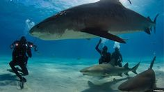 put this in perspective........human, nurse sharks, and TIGER SHARK!