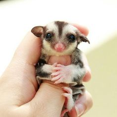 sugar gliders animals pinterest gliders sugaring and animal