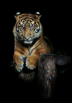 """""""Hutan (one year old Sumatran Tiger)"""" i have adopted a sumatran tiger to help it have money for food and care! the tiger gets to live in the wild with its friends and has a happy life! Beautiful Cats, Animals Beautiful, Beautiful Creatures, Big Cats, Cats And Kittens, Tier Zoo, Animals And Pets, Cute Animals, Animals Images"""
