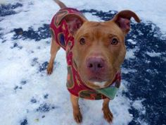 SAFE --- URGENT - Manhattan Center    SCRAPPY - A0989916  *** SAFER: EXPERIENCED HOME NO CHILDREN ***   MALE, TAN, PIT BULL MIX, 3 yrs  OWNER SUR - EVALUATE, NO HOLD Reason PERS PROB   Intake condition NONE Intake Date 01/18/2014, From NY 10467, DueOut Date 01/18/2014 Main thread: https://www.facebook.com/photo.php?fbid=747105658635649&set=a.617938651552351.1073741868.152876678058553&type=3&permPage=1