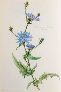 Blue Chicory  Anchusa  1950s Vintage Botanical by PaperPopinjay