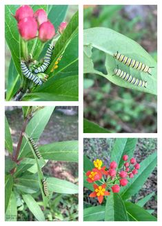 Using Milkweed with Kids to Attrach Monarch Butterflies to Garden Garden Care, Monarch Butterfly, Raised Garden Beds, Healthy Kids, Eco Friendly, Plant Leaves, Art Reference, Creative, Butterflies