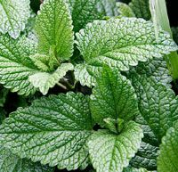 mint or sage in your mulch to repell snails & slugs! worth a try