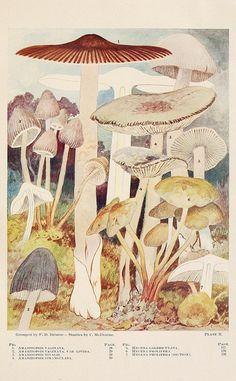 Toadstools, mushrooms, fungi--edible and poisonous via scientific illustration