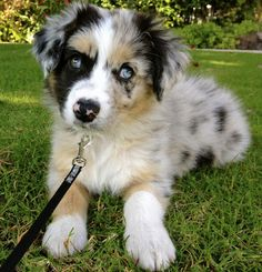 Rooster the Australian Shepherd-Oh Beautiful! Perfect Aussie!