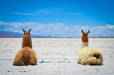 Llamas resting at Salinas Grandes, Jujuy Province