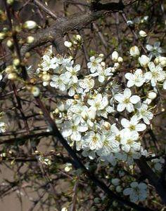 Prunus spinosa Prunellier, Épine noire