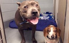 Blind Dachshund and His Pit Bull Guide-Dog Were Left Homeless in a Shelter – Then This Happened - One Green PlanetOne Green Planet High Protein Recipes, Vegan Recipes, Perros Pit Bull, Risotto Balls, Lentil Salad Recipes, Pitbulls, Crunch Wrap, Guide Dog, Plant Based Recipes