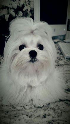 Teacup Maltese, Maltese Dogs, Cute Puppy Pictures, Animal Pictures, Cute Puppies, Dogs And Puppies, Baby Animals, Cute Animals, Akita Dog