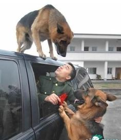 Love and loyalty. When Xiaolu, a soldier that trained police dogs, was retiring and packed his luggage into the car to leave, one dog started bashing the window barking, and the other jumped on the roof of the truck as it started driving away. When the tr Military Dogs, Police Dogs, Animals And Pets, Funny Animals, Cute Animals, Humor Animal, Cute Puppies, Cute Dogs, Canis Lupus