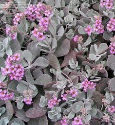 Find hundreds of deals on plants, shurbs, trees, succulents and everything you need to beautify your garden or backyard at Ricardo's Nursery online store. Succulent Bowls, Succulent Terrarium, Succulents In Containers, Succulents Garden, Container Plants, Bonsai, Water Wise Landscaping, Hydrangea Bloom, Garden Nursery