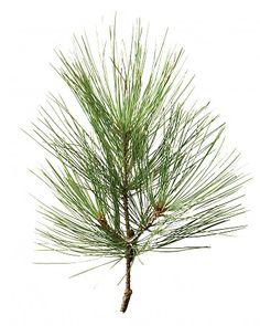 Christmas Tree Glossary - White Pine