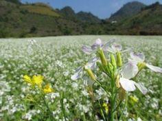 Tháng 11 ở Mộc Châu – Hoa cải trắng nở rộ.Mộc Châu không chỉ nổi tiếng với những đồi chè xanh mướt mênh mông, những trang trại bò sữa hoành tráng mà nơi này còn được biết đến với thửa ruộng hoa cải trắng.