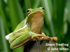 Green Treefrog photograph by John White