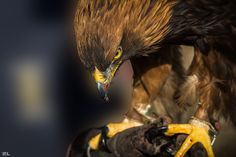 https://flic.kr/p/G7r4nG | Raptor in action! | Steinadler - Golden eagle