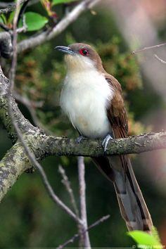 Black-billed Cuckoo, edges of wooded areas across North America, east of the Rockies (Coccyzus erthrophalmus)