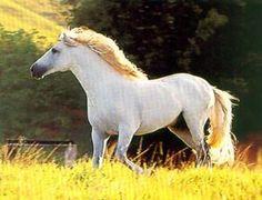 cavalo branco de raça - Pesquisa Google