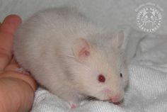 Silver blonde LH (ppSgsgll) Syrian Hamster, Silver Blonde, Cute Hamsters, Gerbil, Lilac Color, Rodents, Guinea Pigs, Polar Bear, Squirrel