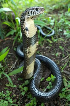 ˚African Forest #Cobra.#snake #reptile