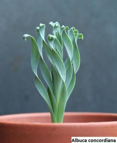 wishlist: Albuca concordiana - garden and plants - . - wishlist: Albuca concordiana – garden and plants – - Unusual Plants, Cool Plants, Air Plants, Garden Plants, Foliage Plants, Indoor Cactus Garden, Veg Garden, Shade Plants, Flowering House Plants