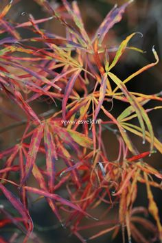 Acer palmatum 'Red Pygmy Seedling'