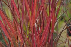 Miscanthus 'Purpurascens', Common name: Flame Grass. Full sun, deer resistant, great for cut flower arrangements. Light green foliage turns a bright, reddish-orange with the onset of cooler fall temperatures. Landscape Grasses, Common Names, Ornamental Grasses, Cut Flowers, Four Seasons, Flower Arrangements, Deer, Bright, Sun