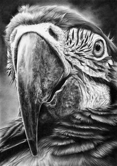 """Pencil Drawings Parrot pencil drawing by Peter Williams. - """"I am Peter Williams, an entirely self taught UK artist, working out of my studio on the Suffolk coast where I live with my long term partne. Pencil Drawings Of Animals, Animal Sketches, Bird Drawings, Drawing Sketches, Realistic Drawings Of Animals, Desenho Tattoo, Amazing Drawings, Wildlife Art, Painting & Drawing"""