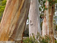 Gum trees (eucalyptus) grow colorful bark patterns on the Overland Track. Cradle Mountain-Lake Saint Clair National Park, Tasmania, Australia. Mostly native to Australia where they dominate the tree flora, Eucalyptus is a diverse genus of flowering trees (and a few shrubs) in the myrtle family, Myrtaceae. Many are known as gum trees because of copious sap exuded from any break in the bark. Published in Light Travel: Photography on the Go book by Tom Dempsey 2009, 2010.