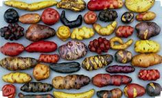 @precolombian Peruvian potato variety. Dates back to the times of the Inca