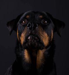 My beautiful girl - Rottweiler