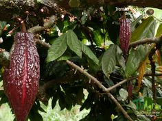 Transformadores Del Campo: El Cacao, Empresa Familiar