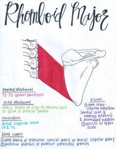 Rhomboid Major lymph massage Gift ideas for cyclists [for all the bike lovers] Yoga Anatomy, Anatomy Study, Physical Therapy School, Lymph Massage, Gross Anatomy, Muscular System, Human Anatomy And Physiology, Muscle Anatomy, Massage Techniques
