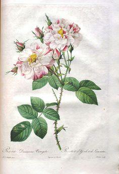 Vintage Printable – Botanical – 7 | Vintage Printable vintag printabl, botanical illustration, botan illustr, art rose, botan print, botan pictur, botan rose, vintag botan, botan vintag