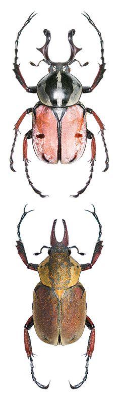 Dicronocephalus dabryi; Dicronocephalus uenoi katoi