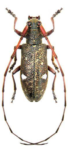 Monochamus guttulatus