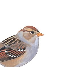 White-crowned Sparrow, immature. Painted and © by David Sibley